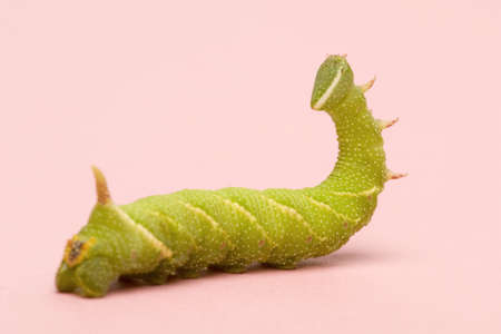 Lime Hawk-moth caterpillar - Mimas tiliae in front of a white background Stock Photo - 3430046