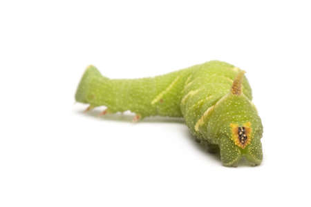 Lime Hawk-moth caterpillar - Mimas tiliae in front of a white background photo