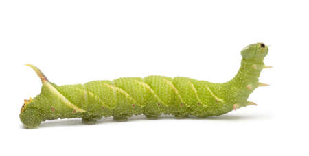 Lime Hawk-moth caterpillar - Mimas tiliae in front of a white background Stock Photo - 3430073