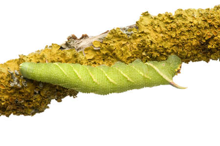 Lime Hawk-moth caterpillar - Mimas tiliae in front of a white background Stock Photo - 3430123