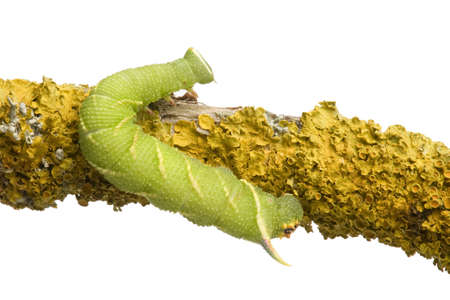 Lime Hawk-moth caterpillar - Mimas tiliae in front of a white background Stock Photo - 3430097