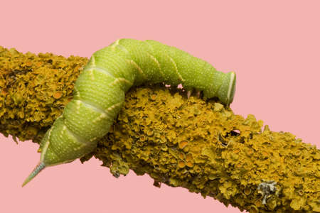 Lime Hawk-moth caterpillar - Mimas tiliae in front of a pink background Stock Photo - 3430145
