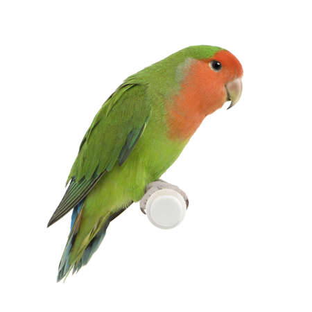lovebird: Peach-faced Lovebirdin  - Agapornis roseicollis or Lilians Lovebird - Agapornis lilianae front of a white background
