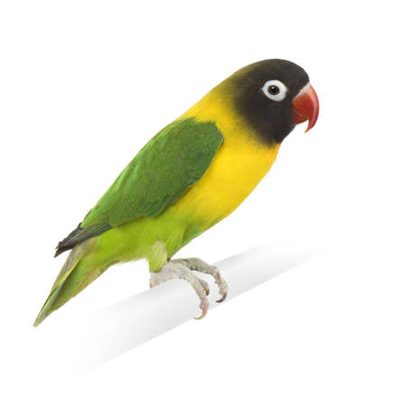 exotic pet: Masked Lovebird in front of a white background