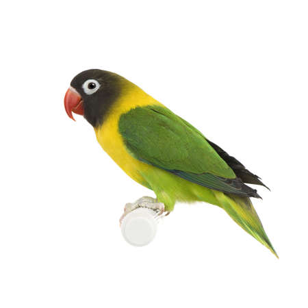 lovebird: Masked Lovebird in front of a white background