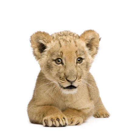 lion cub: Lion Cub (8 weeks) in front of a white background