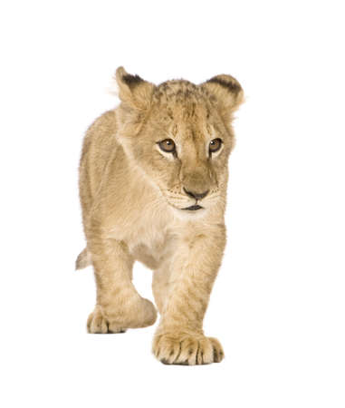 lion cub: Lion Cub (4 months) in front of a white background