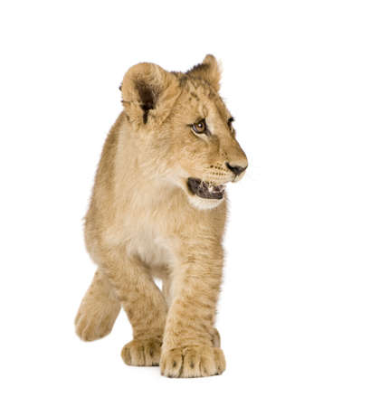 Lion Cub (4 months) in front of a white background Stock Photo - 3652478