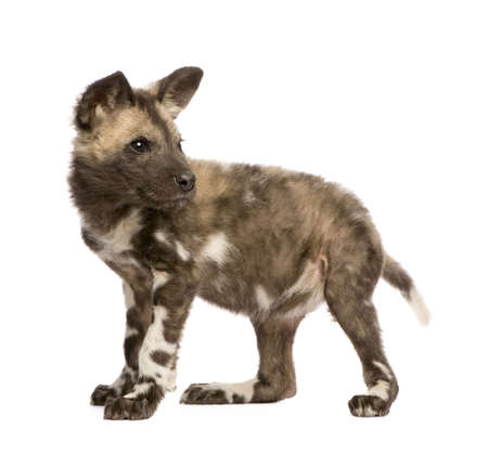 lycaon pictus: African wild dog cub(9 weeks) - Lycaon pictus  in front of a white background