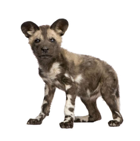 African wild dog cub(9 weeks) - Lycaon pictus  in front of a white background photo