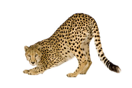 furry tail: Cheetah - Acinonyx jubatus in front of a white background