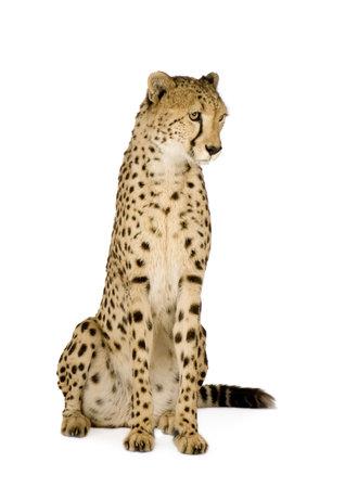 acinonyx: Cheetah - Acinonyx jubatus in front of a white background