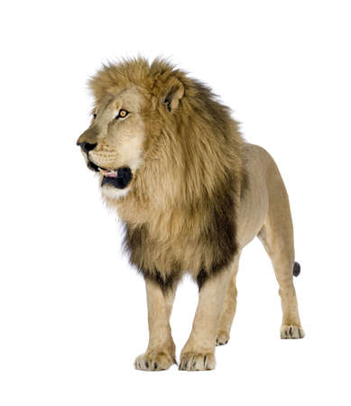 Lion (8 years) - Panthera leo in front of a white background Stock Photo - 3653187