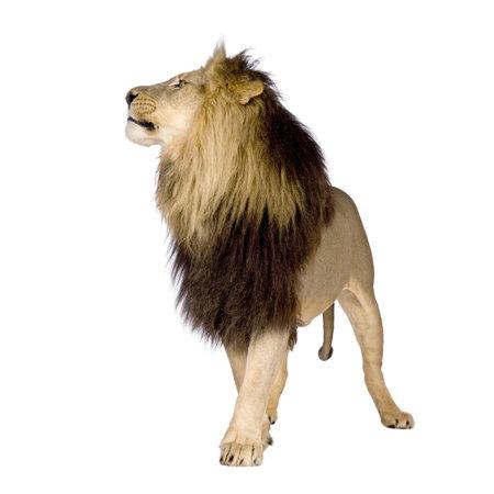 panthera: Lion (4 anni e mezzo) - Panthera leo di fronte a uno sfondo bianco Archivio Fotografico