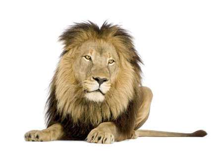 lion: Lion (4 and a half years) - Panthera leo in front of a white background Stock Photo
