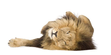 laziness: Lion (4 and a half years) - Panthera leo in front of a white background Stock Photo