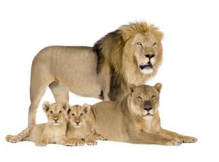 pack animal: Lioness (8 anni) - Panthera leo di fronte a uno sfondo bianco