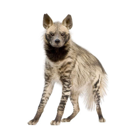 hyena: Striped Hyena in front of a white background Stock Photo