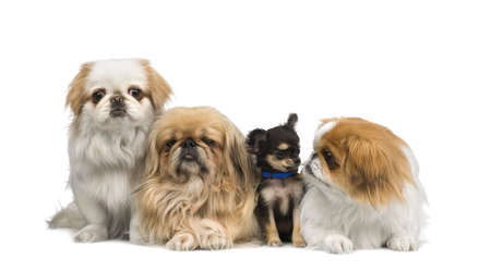 minuscule: three Pekingeses and one chihuahua in a row in front of a white background