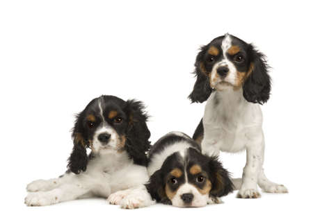 cavalier: puppies Cavalier King Charles Spaniel (3 months) in front of a white background