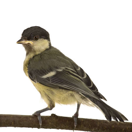 major: Great Tit - Parus major (6 weeks) on its perch in front of a white background Stock Photo