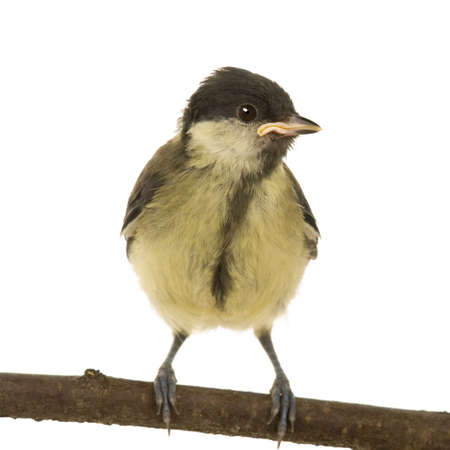 serine: Great Tit - Parus major (6 weeks) on its perch in front of a white background Stock Photo