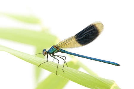 dragonfly wing: Banded Demoiselle in front of a white background