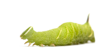 mimas: Lime Hawk-moth caterpillar - Mimas tiliae in front of a white background