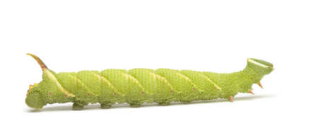 Lime Hawk-moth caterpillar - Mimas tiliae in front of a white background Stock Photo - 3652477