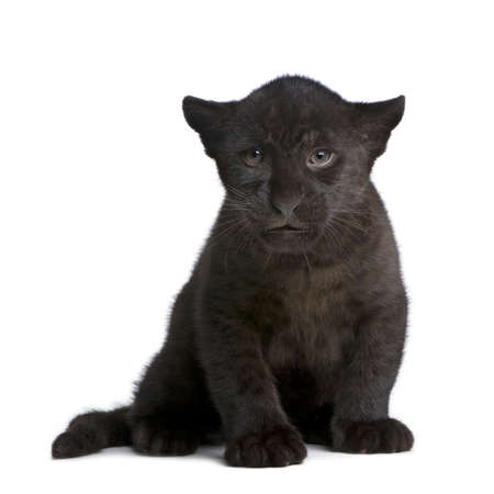 black and white panther: Jaguar cub (2 months) - Panthera onca in front of a white background Stock Photo