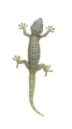 Tokay gecko - Gekko gecko in front of a white background photo