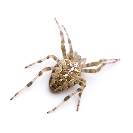 diadem spider - Araneus diadematus in front of a white background photo
