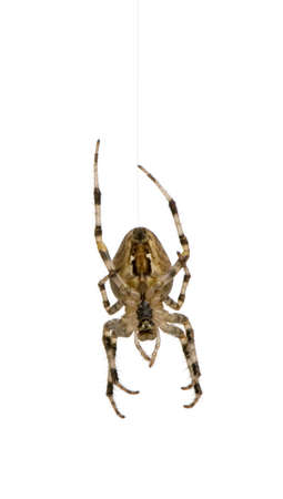 diadem spider - Araneus diadematus in front of a white background photo