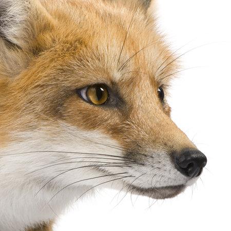 zorro: Zorro rojo (4 a�os) - Vulpes vulpes delante de un fondo blanco Foto de archivo