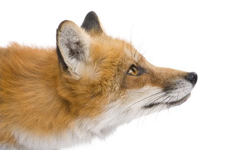 volpe rossa: Volpe rossa (4 anni) - Vulpes vulpes davanti a uno sfondo bianco Archivio Fotografico
