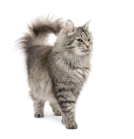 Crossbreed Siberian cat et persian catin front of a white background Stock Photo