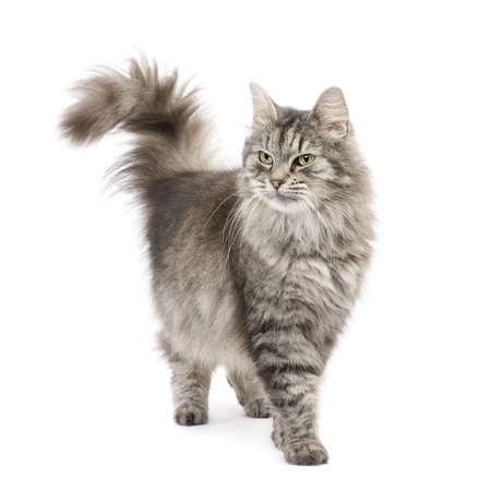 et: Crossbreed Siberian cat et persian catin front of a white background Stock Photo