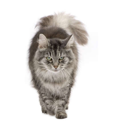 furry tail: Crossbreed Siberian cat et persian catin front of a white background Stock Photo