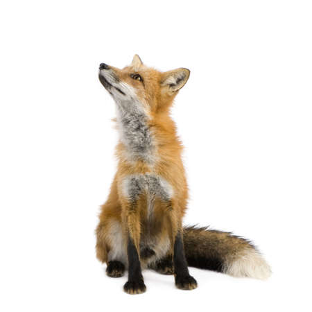 sitting up: Red fox (4 years) - Vulpes vulpes in front of a white background Stock Photo