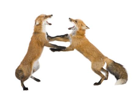 fighting dog: Volpe rossa (4 anni) - Vulpes vulpes davanti a uno sfondo bianco Archivio Fotografico