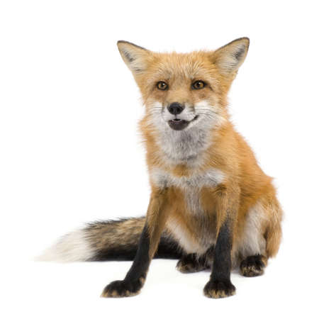 vertebrate: Red fox (4 years) - Vulpes vulpes in front of a white background Stock Photo