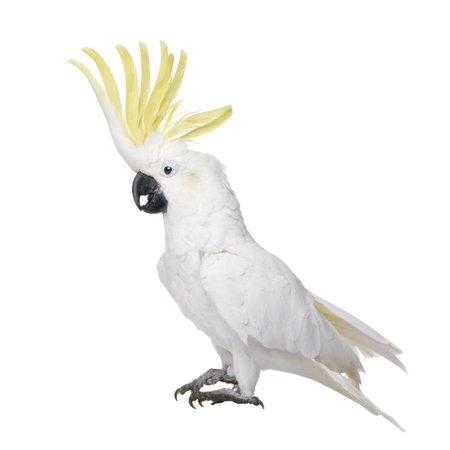 Sulphur-Crested Cockatoo (22 jaar) - Cacatua galerita voor een witte achtergrond Stockfoto