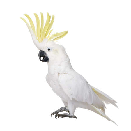 Sulphur-crested Cockatoo (22 years) - Cacatua galerita in front of a white background Reklamní fotografie