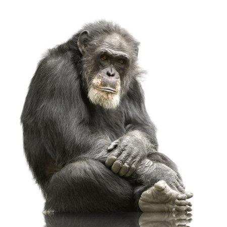 Chimpanzee - Simia troglodytes isolated on a white Stock Photo