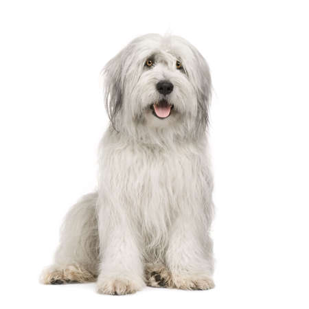 Sheepdog (15 moths) in front of a white background Stock Photo