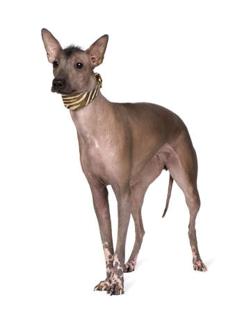 lapdog: Peruvian Hairless Dog (1 years) in front of a white background