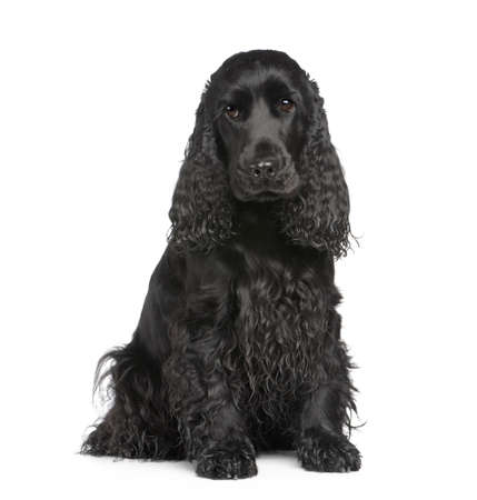 cocker spaniel: english Cocker Spaniel (2 years) in front of a white background