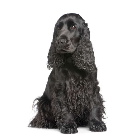 gundog: english Cocker Spaniel (2 years) in front of a white background