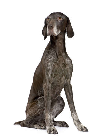 11 years: German Shorthaired Pointer (11 years) in front of a white background