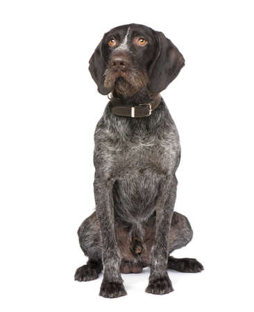 shorthaired: German Shorthaired Pointer (4 years) in front of a white background Stock Photo